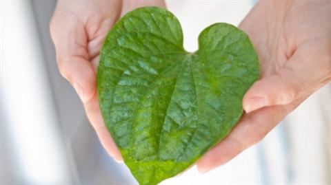Trầu một lá là vị thuốc quý của Yên Tử Quảng Ninh