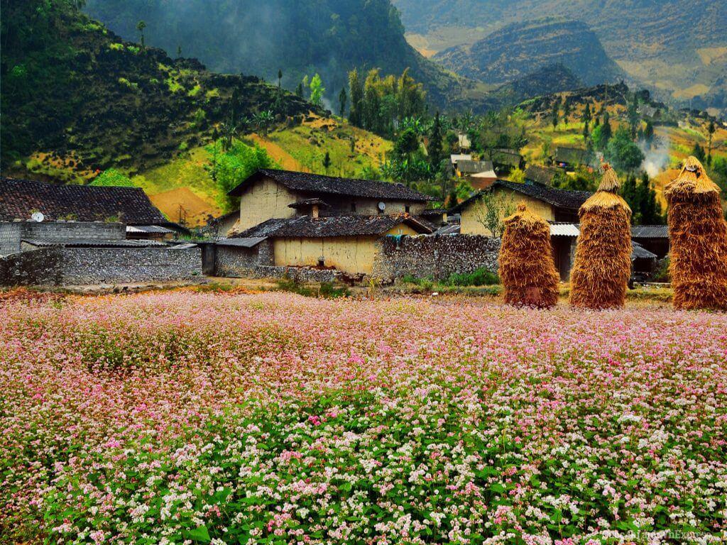 Thung lũng Sủng Là rạng rỡ mùa hoa tam giác mạch